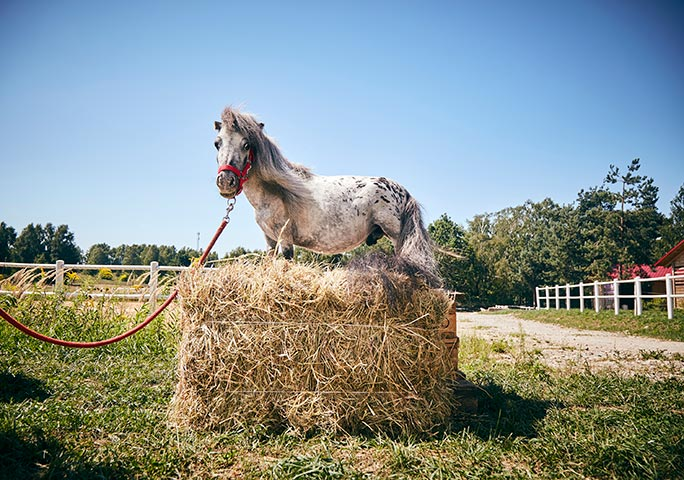 Bombel is the new king of the tiny horse castle
