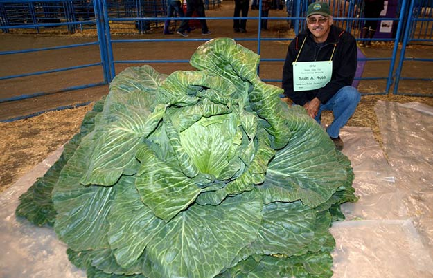 Heaviest green cabbage